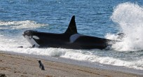 Patagonia_Project_Orcas_006